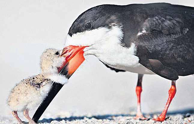 bird loves mummy - Sakshi