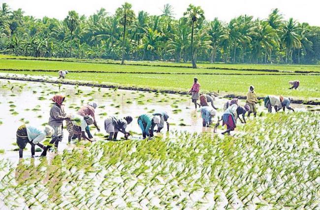 rabi rice seeding 120% - Sakshi