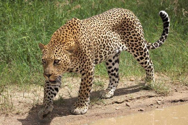 Wandering Leopards Tirumala - Sakshi