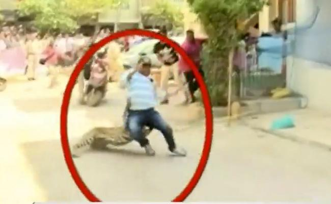 Leopard Strays Into Residential Area in Indore - Sakshi