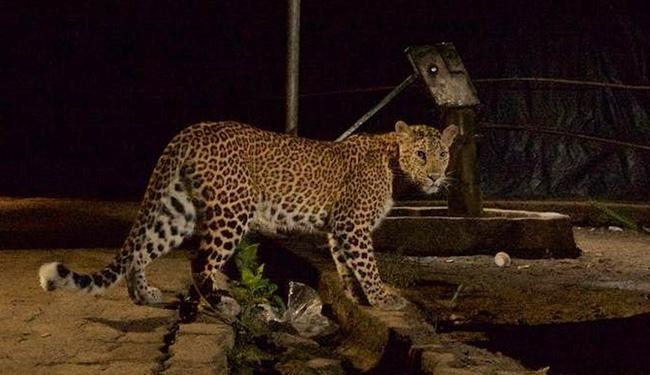How Leopards Came To Live Peacefully With Mumbai Residents - Sakshi
