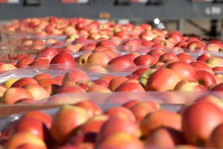 IG International Introduces Organic Apples In India  - Sakshi