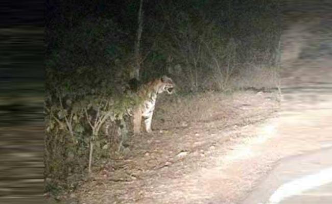 Tigers On Highway - Sakshi