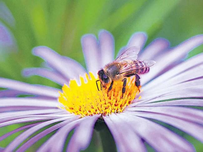 Local bees are threatened with foreign plants - Sakshi