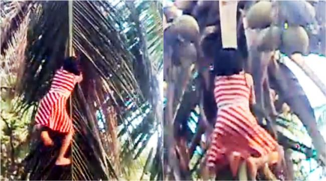 Girl Climbing Coconut Tree Without Any Harness - Sakshi