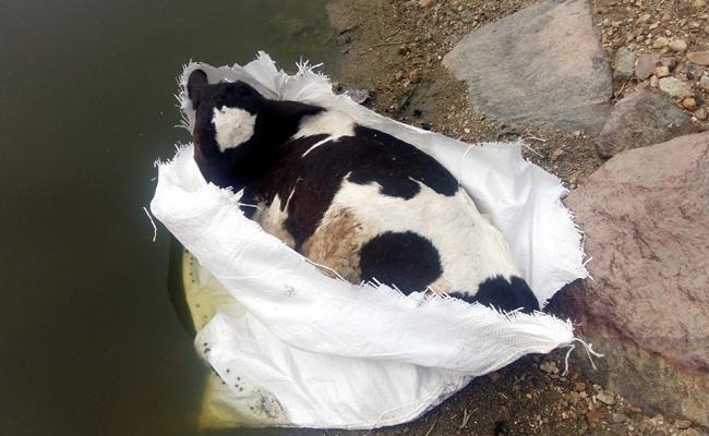 Cow Dead Body in Bag - Sakshi