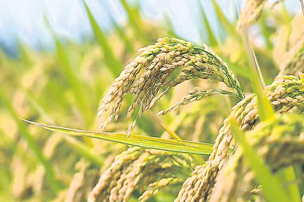 Threat to rice with Carbon dioxide - Sakshi