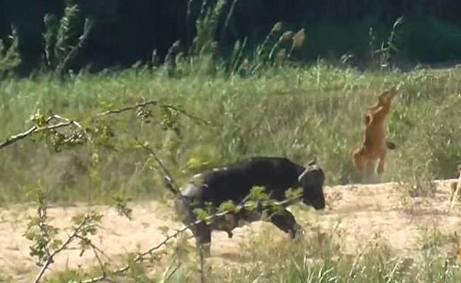 Buffalo Attacks On Lions Mob To Save A Lizard In Kruger National Park - Sakshi