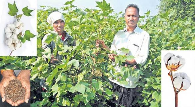 Nonbt cotton with own seeds for eight years - Sakshi