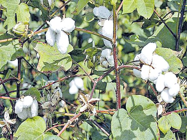 Cotton Farmers in debt loss - Sakshi