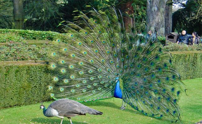 Peacock DNA Structure Was Discovered By IISR Scientists - Sakshi
