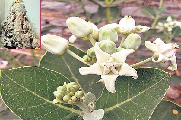 Ayurveda medicine with white jilledu plants - Sakshi
