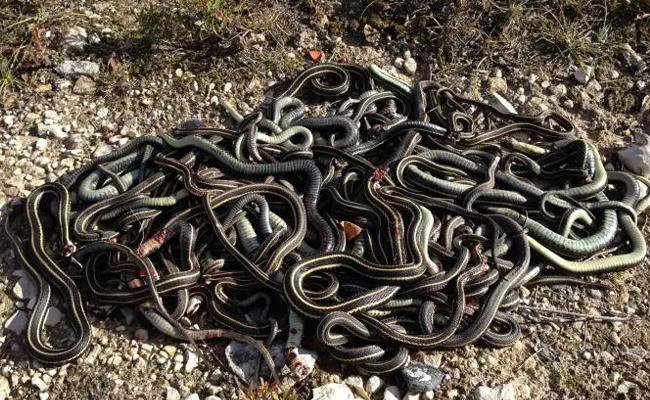 60 Venomous Snakes Found In Schools Kitchen - Sakshi