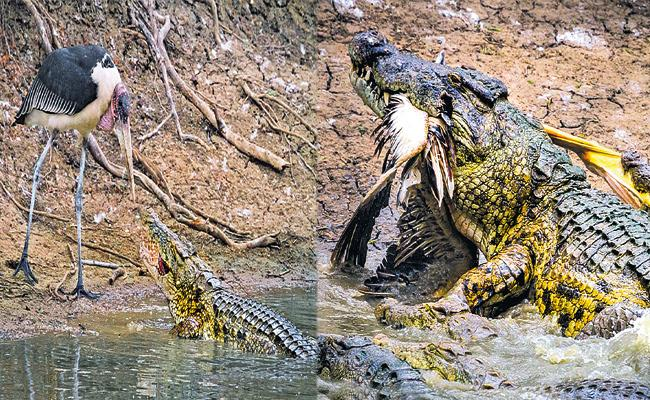 Crocodile Eats Heron While Drinking Water In Kenya - Sakshi