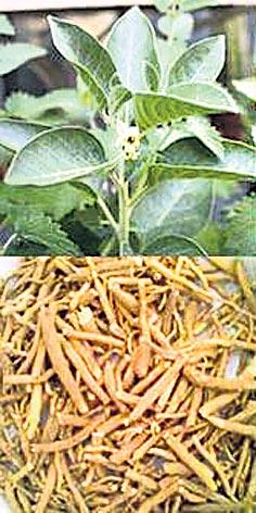 Ashwagandha Cultivation Information - Sakshi