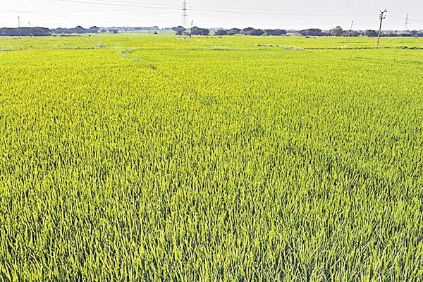 Insurance does not cover to cotton farmers - Sakshi