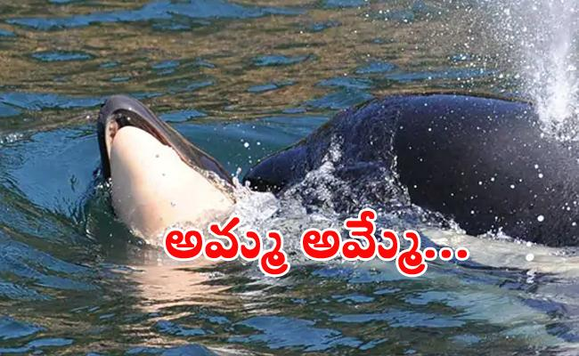 Orca Mother Carrying Dead Calf For Days - Sakshi