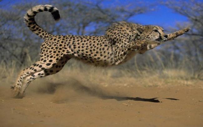 cheetah Attack on couple in vadodara - Sakshi
