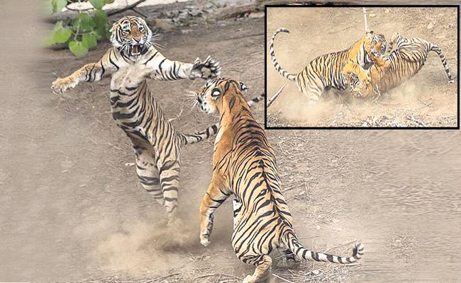 Two Tigers Fighting In Ranthambore Rajasthan - Sakshi