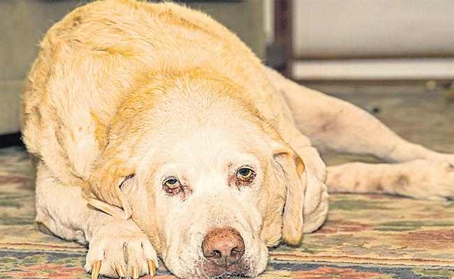 Cancer Spreads To Pet Dogs In hyderabad - Sakshi