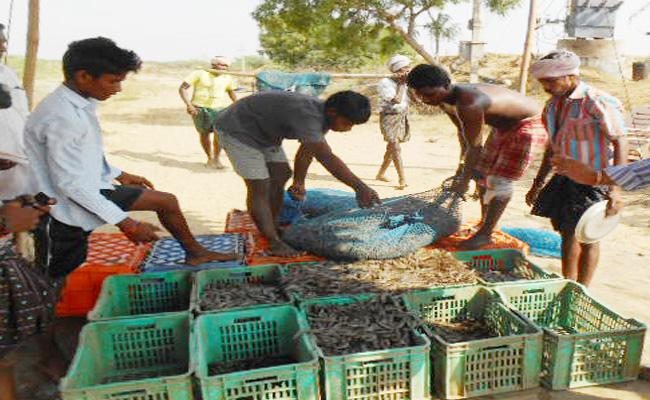 Shrimp prices Hikes In PSR Nellore - Sakshi