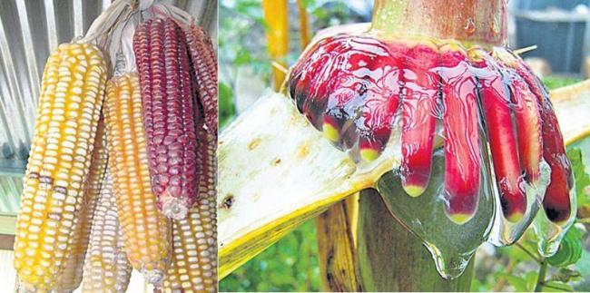 Weather to Nitrogen Sensing Corn - Sakshi
