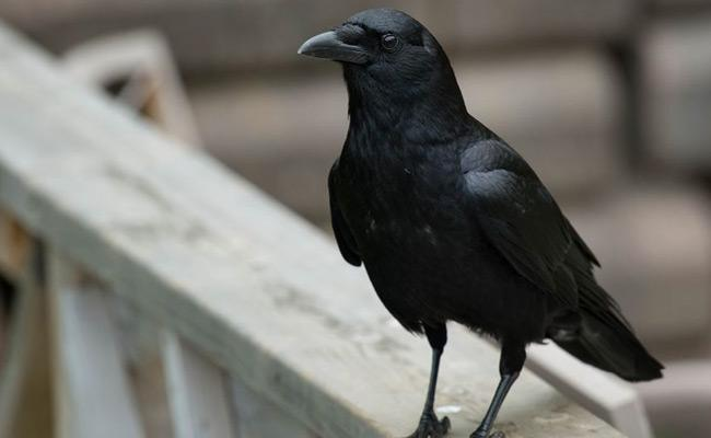 Crow Clean Waste In France - Sakshi