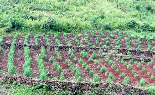 Marijuana Crop In Shelter Zone Visakhapatnam - Sakshi
