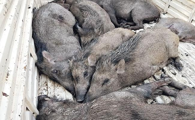 Illegally Moving Wild boars Are In telangana - Sakshi