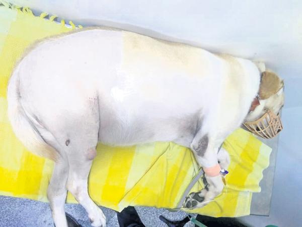 Bone joint surgery to Dog first time in Asia - Sakshi