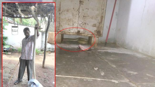 Big Cobra Snake In Bhupalapalli - Sakshi