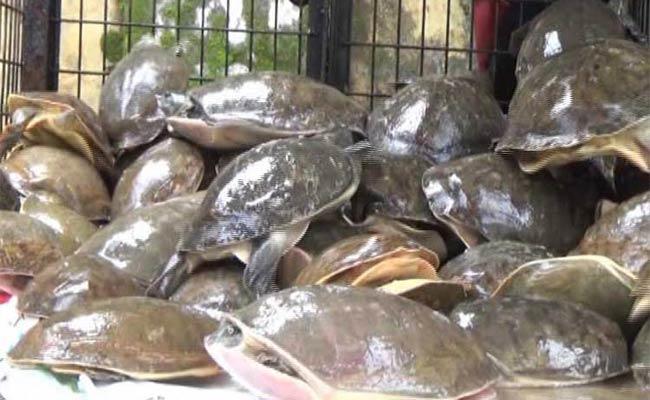 Smuggling Of Turtles - Sakshi