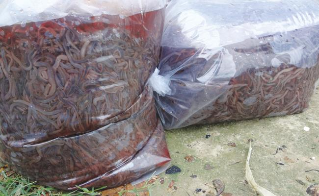 Earthworms Smuggling In PSR Nellore - Sakshi