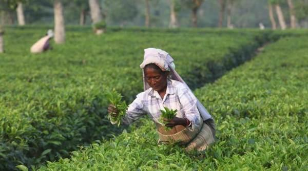 Tea Variety From Arunachal Auctioned At Rs Forty Thousand - Sakshi