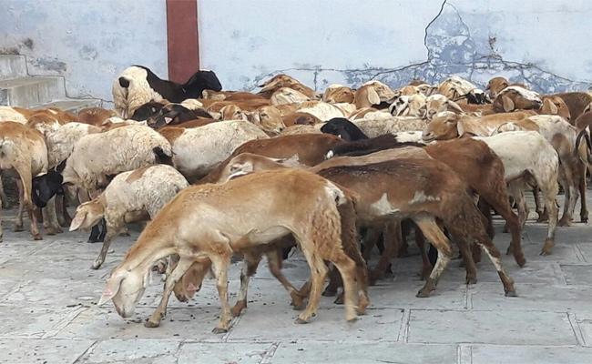 Telangana Government Sheep Distribution Scheme In Karimnagar - Sakshi