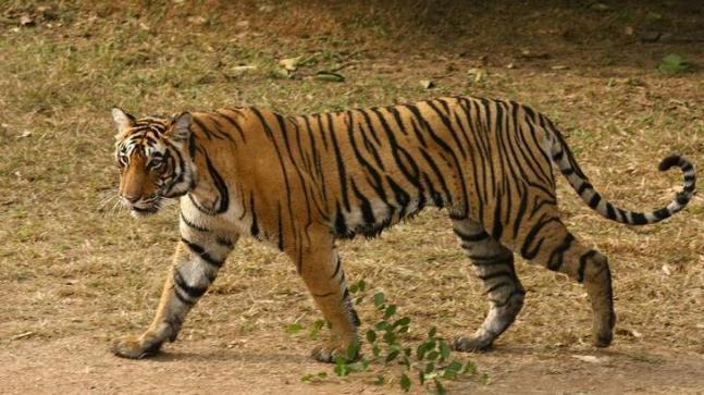 Ranthambore Tiger Attacks Youth A Man - Sakshi