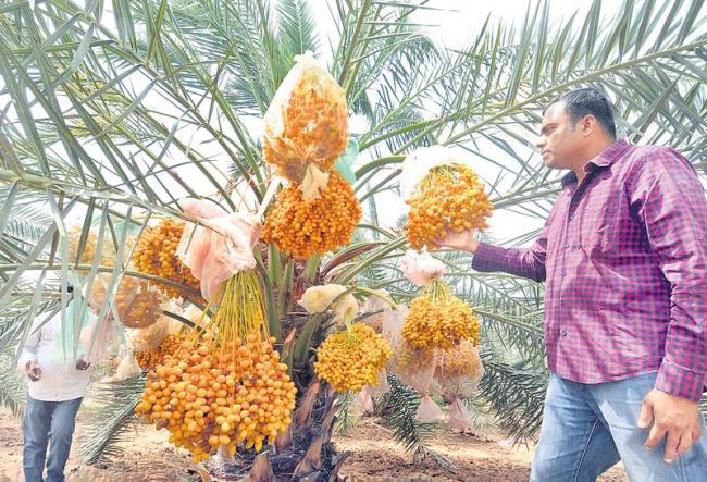 date palm crop in Drought - Sakshi