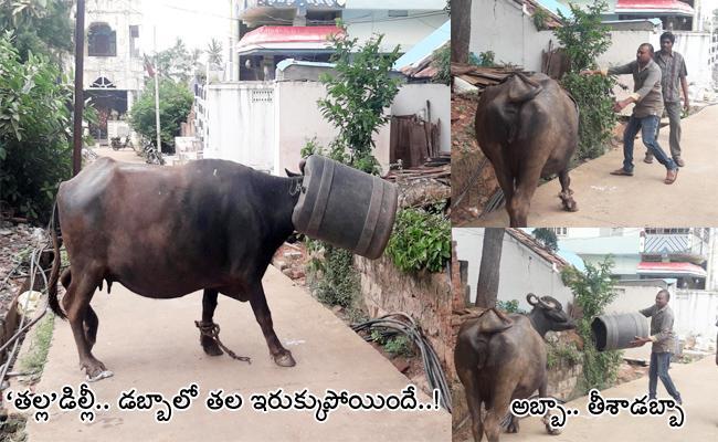 Buffalo Head Stuck In Water Can In Dwaraka Tirumala West Godavari - Sakshi