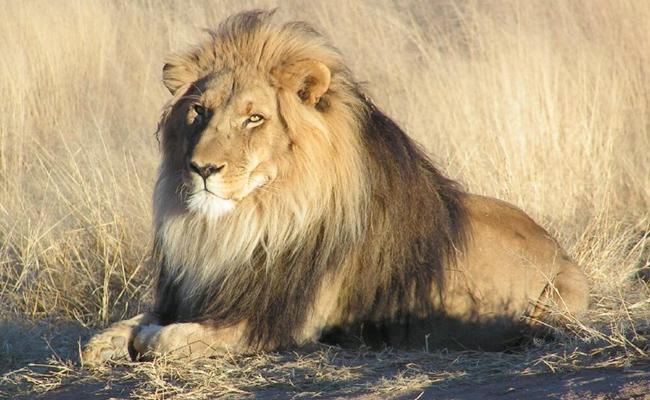 Daring Buffalo Turns On Lioness Hunting - Sakshi