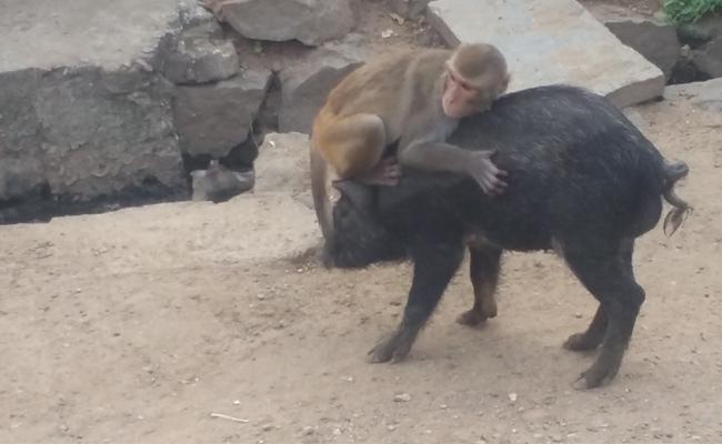 Monkey Played With Pig In Warangal - Sakshi