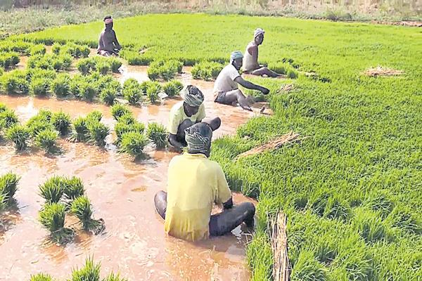 Paddy cultivation was beyond the expectations - Sakshi