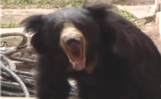 Wild Bear Caught In Karimnagar - Sakshi