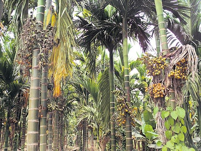 Areca palm of income - Sakshi