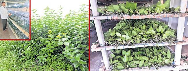 Organic farming in mulberry for sustainable silk production - Sakshi