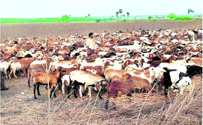 Telangana Government Sheep Distribution Scheme Phase 2 Started - Sakshi