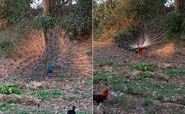 Peacock Died After Dance In Chittoor - Sakshi
