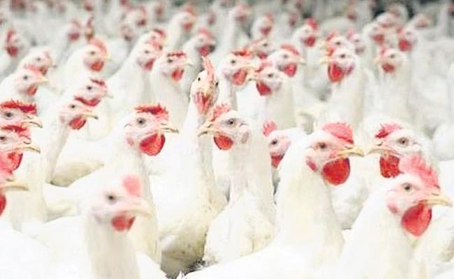 Chicken Sales Hikes In Dasara Festival Season - Sakshi