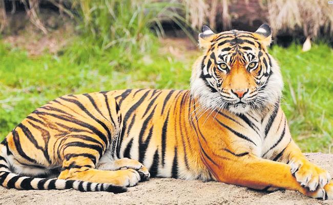 Decreasing Tiger Population - Sakshi