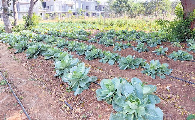 Article On Organic Cultivation In Sakshi Sagubadi