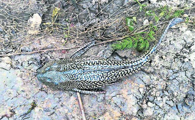 Devil Fish Found in West Godavari - Sakshi